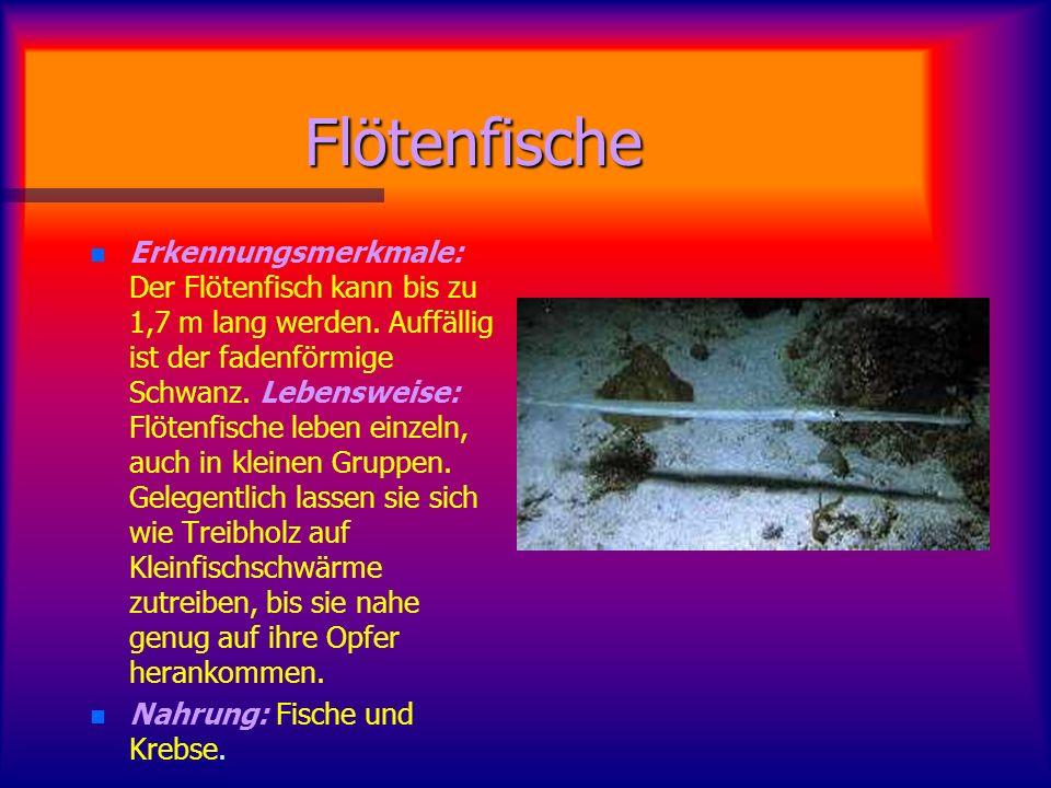 Flötenfische n n Erkennungsmerkmale: Der Flötenfisch kann bis zu 1,7 m lang werden.