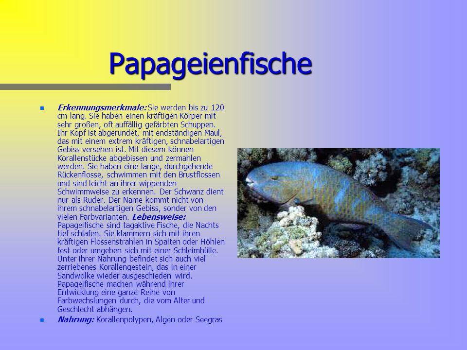 Papageienfische n n Erkennungsmerkmale: Sie werden bis zu 120 cm lang.