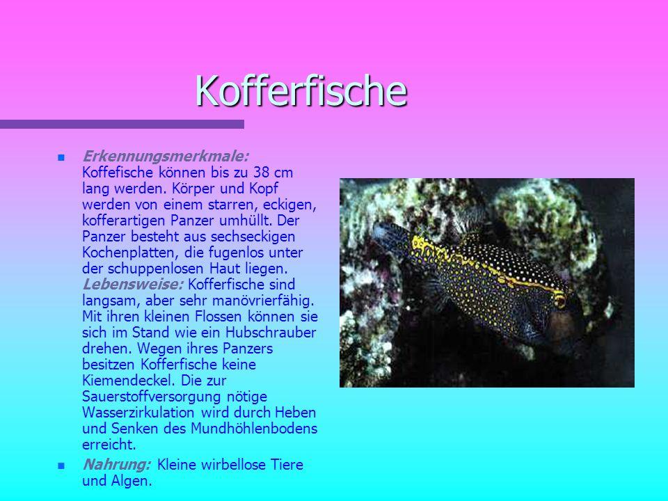 Papageienfische n n Erkennungsmerkmale: Sie werden bis zu 120 cm lang. Sie haben einen kräftigen Körper mit sehr großen, oft auffällig gefärbten Schup