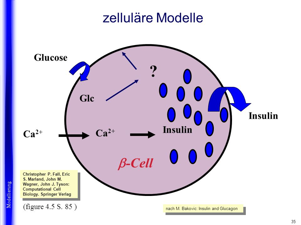 35 zelluläre Modelle Glucose Beta cells Glc Ca 2+ ? Insulin -Cell Insulin Modellierung (figure 4.5 S. 85 ) nach M. Bakovic: Insulin and Glucagon Chris