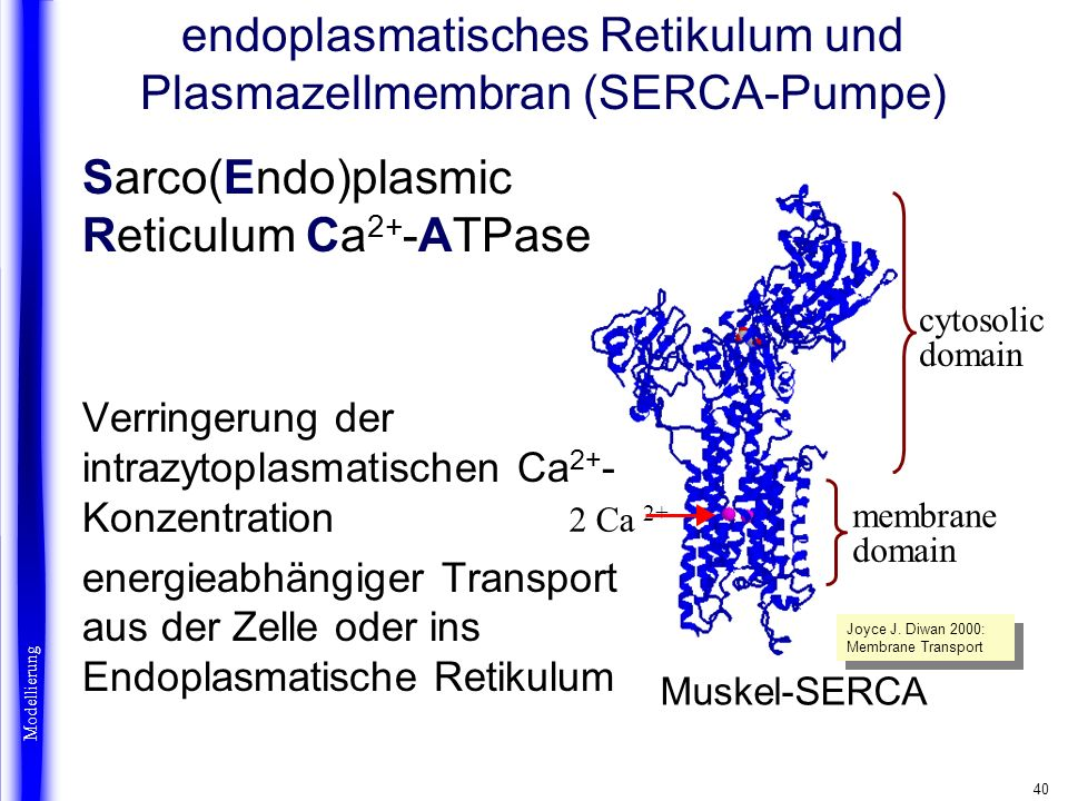 40 2 Ca 2+ Muskel-SERCA membrane domain cytosolic domain Sarco(Endo)plasmic Reticulum Ca 2+ -ATPase Verringerung der intrazytoplasmatischen Ca 2+ - Ko