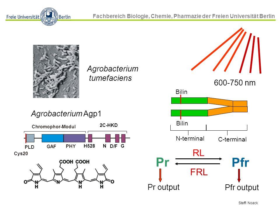 Fachbereich Biologie, Chemie, Pharmazie der Freien Universität Berlin Steffi Noack 600-750 nm Bilin C-terminal N-terminal Pr Pfr RL FRL Pr output Pfr