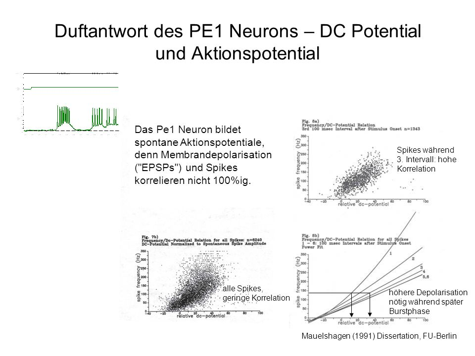 Duftantwort des PE1 Neurons – DC Potential und Aktionspotential Mauelshagen (1991) Dissertation, FU-Berlin alle Spikes, geringe Korrelation Spikes wäh