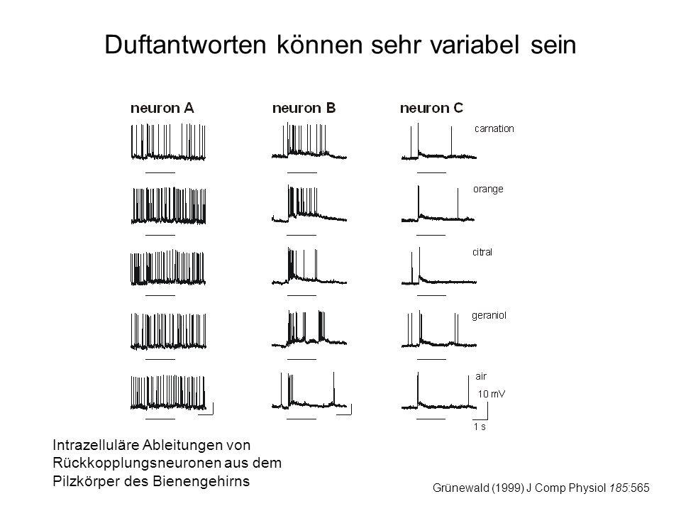 Duftantworten können sehr variabel sein Grünewald (1999) J Comp Physiol 185:565 Intrazelluläre Ableitungen von Rückkopplungsneuronen aus dem Pilzkörper des Bienengehirns