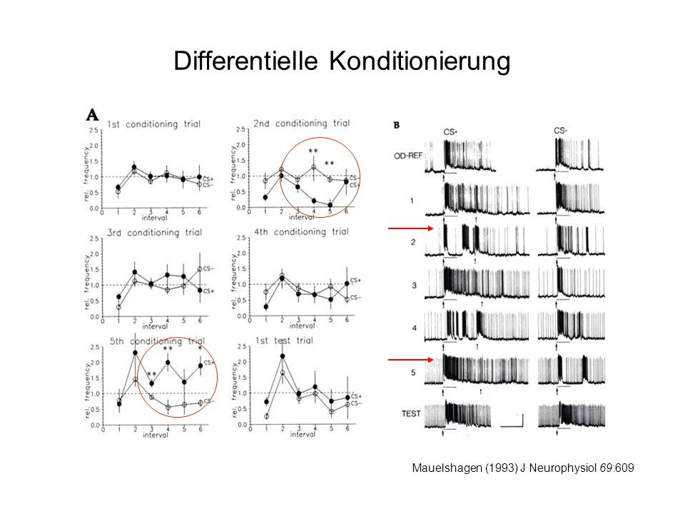 Differentielle Konditionierung Mauelshagen (1993) J Neurophysiol 69:609