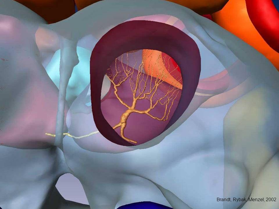 Morphologie des PE1 Neurons Brandt, Rybak, Menzel, 2002