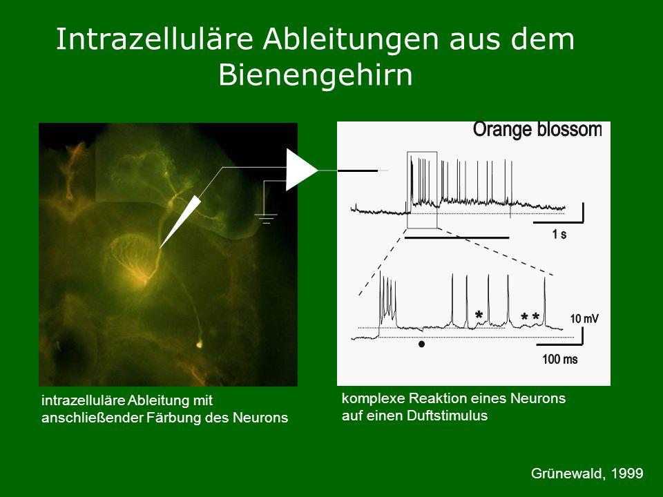 Intrazelluläre Ableitungen aus dem Bienengehirn intrazelluläre Ableitung mit anschließender Färbung des Neurons Grünewald, 1999 komplexe Reaktion eines Neurons auf einen Duftstimulus