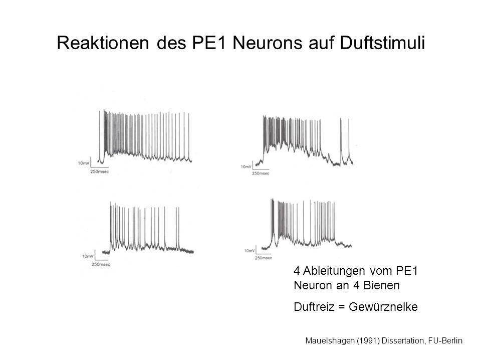 Mauelshagen (1991) Dissertation, FU-Berlin Reaktionen des PE1 Neurons auf Duftstimuli 4 Ableitungen vom PE1 Neuron an 4 Bienen Duftreiz = Gewürznelke