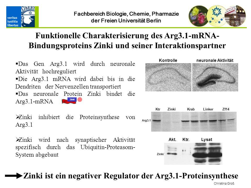 Fachbereich Biologie, Chemie, Pharmazie der Freien Universität Berlin Funktionelle Charakterisierung des Arg3.1-mRNA- Bindungsproteins Zinki und seiner Interaktionspartner Christina Groß Das Gen Arg3.1 wird durch neuronale Aktivität hochreguliert Die Arg3.1 mRNA wird dabei bis in die Dendriten der Nervenzellen transportiert Das neuronale Protein Zinki bindet die Arg3.1-mRNA Kontrolleneuronale Aktivität Zinki inhibiert die Proteinsynthese von Arg3.1 Zinki wird nach synaptischer Aktivität spezifisch durch das Ubiquitin-Proteasom- System abgebaut Zinki ist ein negativer Regulator der Arg3.1-Proteinsynthese ZinkiKrabZf14KtrLinker Arg3.1 LysatAkt.Ktr.