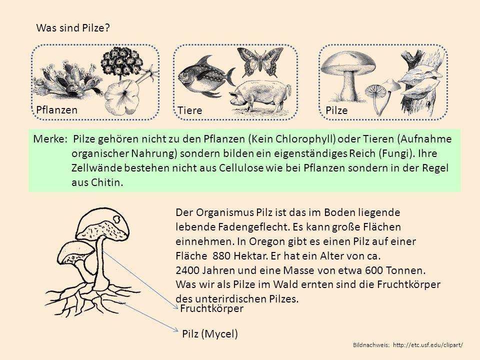 Vielfalt bei Pilzen - Fruchtschicht Lamellen getrennt stehendLamellen untermischt Lamellen gegabelt