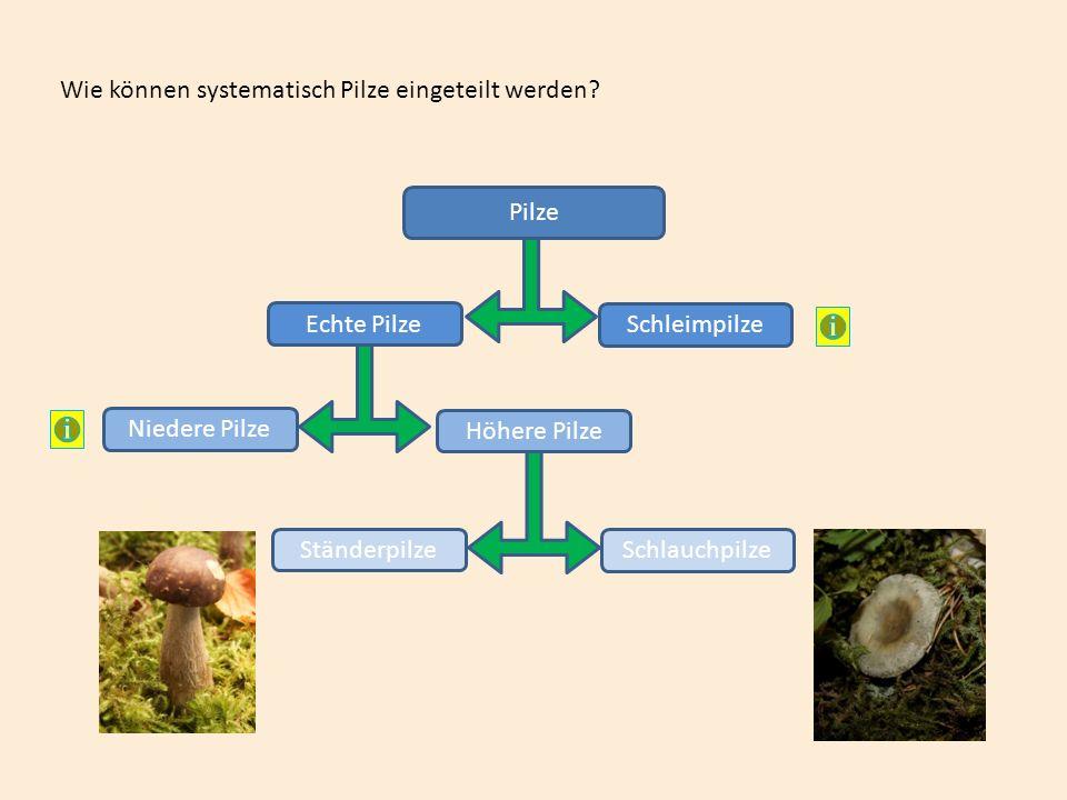Merke: Mineralsalze gelangen mit dem Wasser in die Pflanze und damit auch in die Blätter.