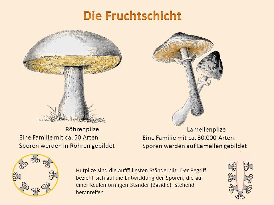 StänderpilzSchlauchpilz Nachweis der Sporen: Schwarzes und weißes Papier nebeneinander legen.