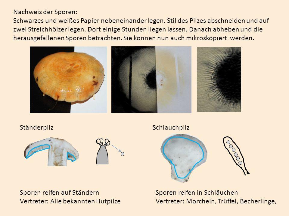 Das Mycel ist der eigentliche Pilz.