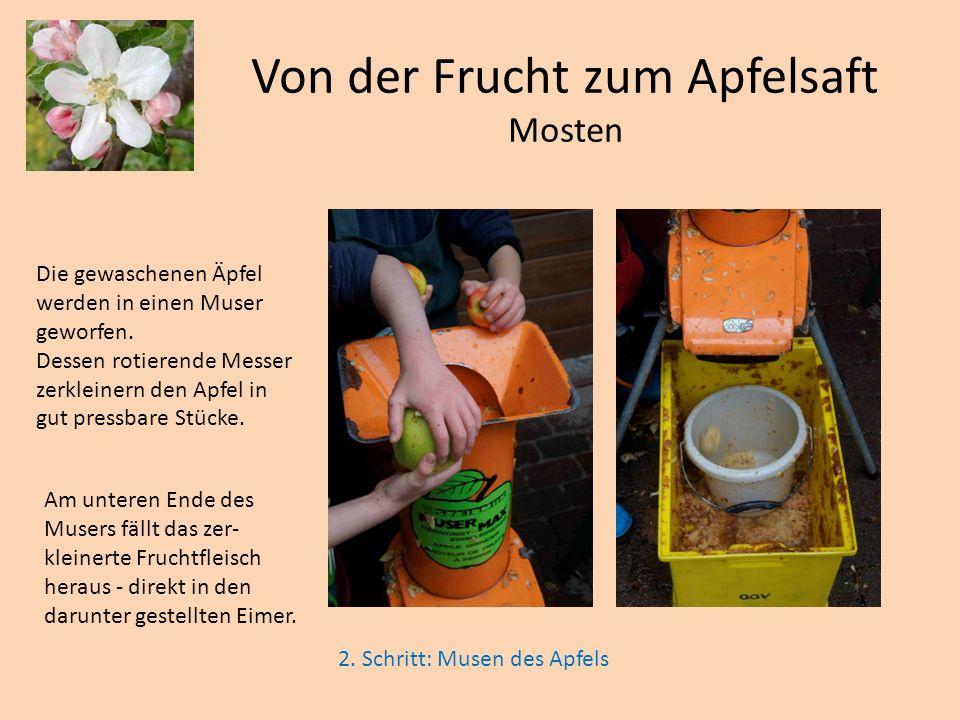 Die gewaschenen Äpfel werden in einen Muser geworfen. Dessen rotierende Messer zerkleinern den Apfel in gut pressbare Stücke. 2. Schritt: Musen des Ap