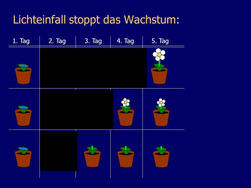 Lichteinfall stoppt das Wachstum: 1. Tag2. Tag3. Tag4. Tag5. Tag