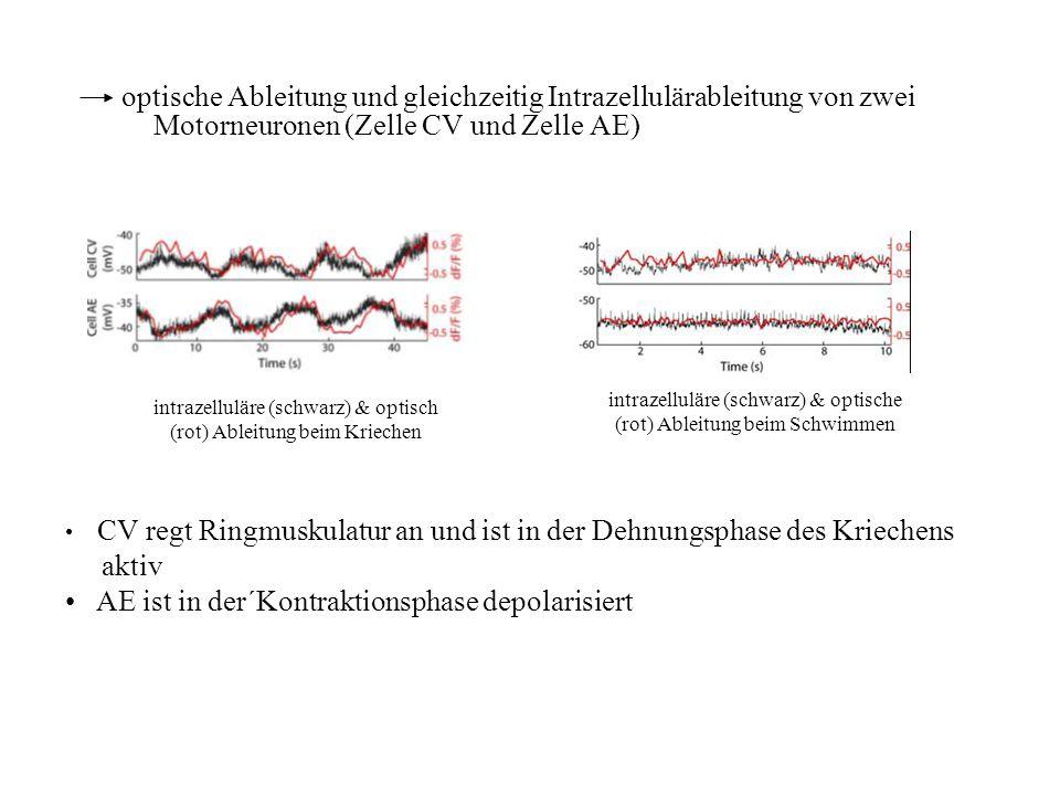 optische Ableitung und gleichzeitig Intrazellulärableitung von zwei Motorneuronen (Zelle CV und Zelle AE) intrazelluläre (schwarz) & optisch (rot) Abl