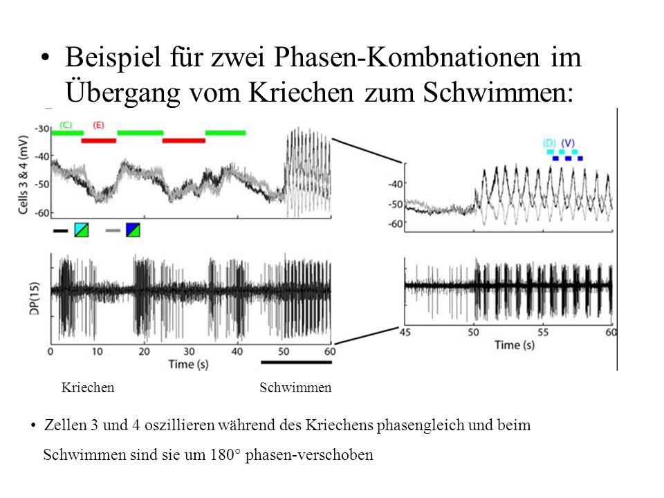 Beispiel für zwei Phasen-Kombnationen im Übergang vom Kriechen zum Schwimmen: Zellen 3 und 4 oszillieren während des Kriechens phasengleich und beim S