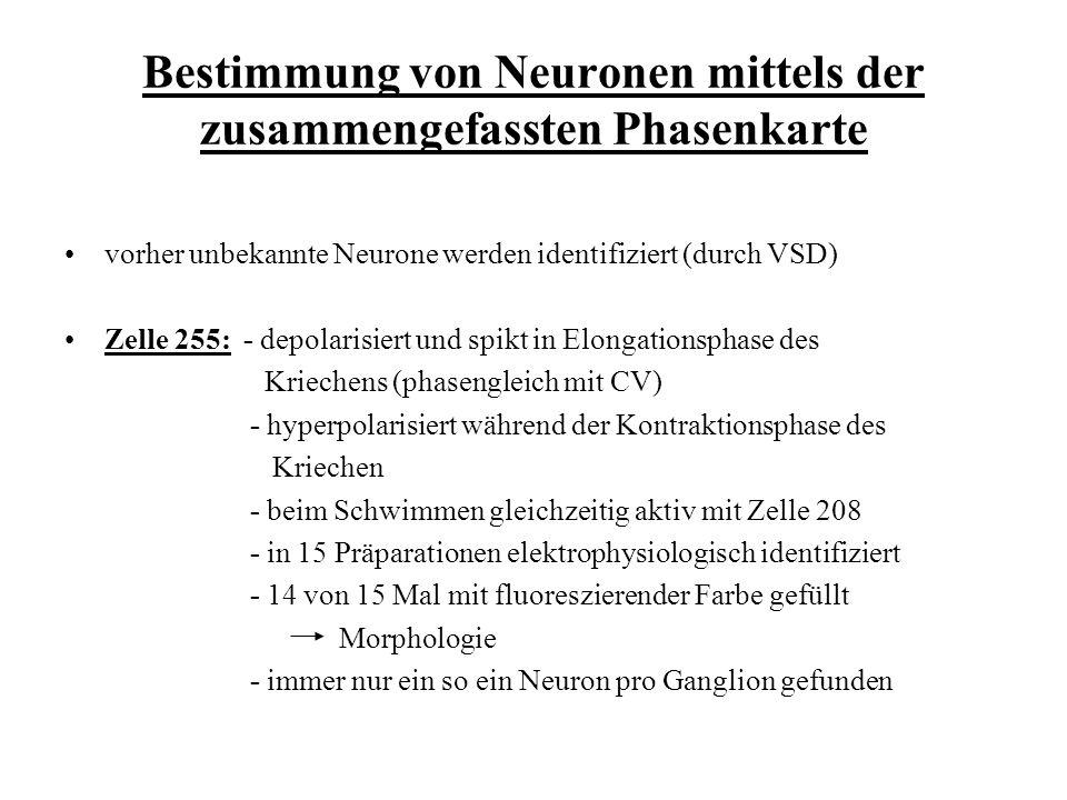 Bestimmung von Neuronen mittels der zusammengefassten Phasenkarte vorher unbekannte Neurone werden identifiziert (durch VSD) Zelle 255: - depolarisier