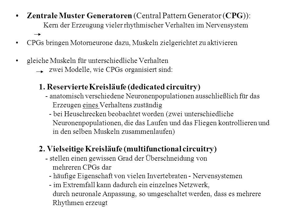 Zentrale Muster Generatoren (Central Pattern Generator (CPG)): Kern der Erzeugung vieler rhythmischer Verhalten im Nervensystem CPGs bringen Motorneur