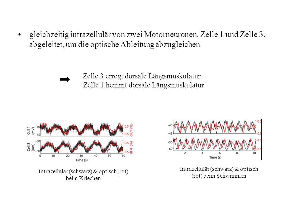 gleichzeitig intrazellulär von zwei Motorneuronen, Zelle 1 und Zelle 3, abgeleitet, um die optische Ableitung abzugleichen Zelle 3 erregt dorsale Läng