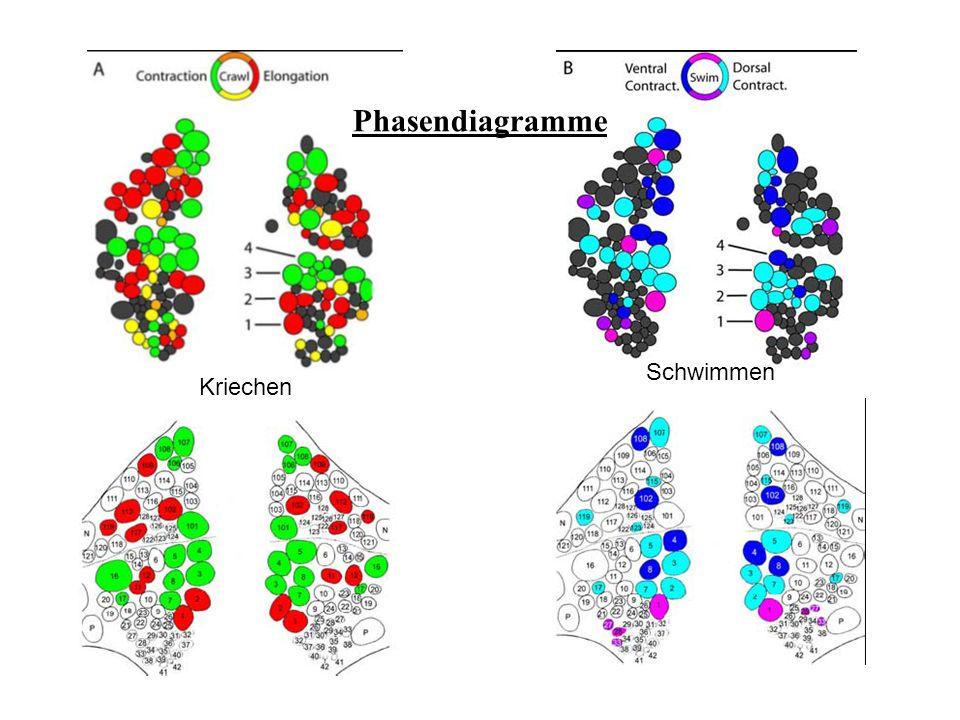 Zusammenhängende Oszillationen der Neurone beim Schwimmen und Kriechen an der ventralen Seite ähnliche Experimente wie bei der dorsalen Oberfläche von G10 Extrazellulärableitung von DP-Nerven in Segment 12 und 13 Extrazellulärableitung beim KriechenExtrazellulärableitung beim Schwimmen ventrale Seite von G10
