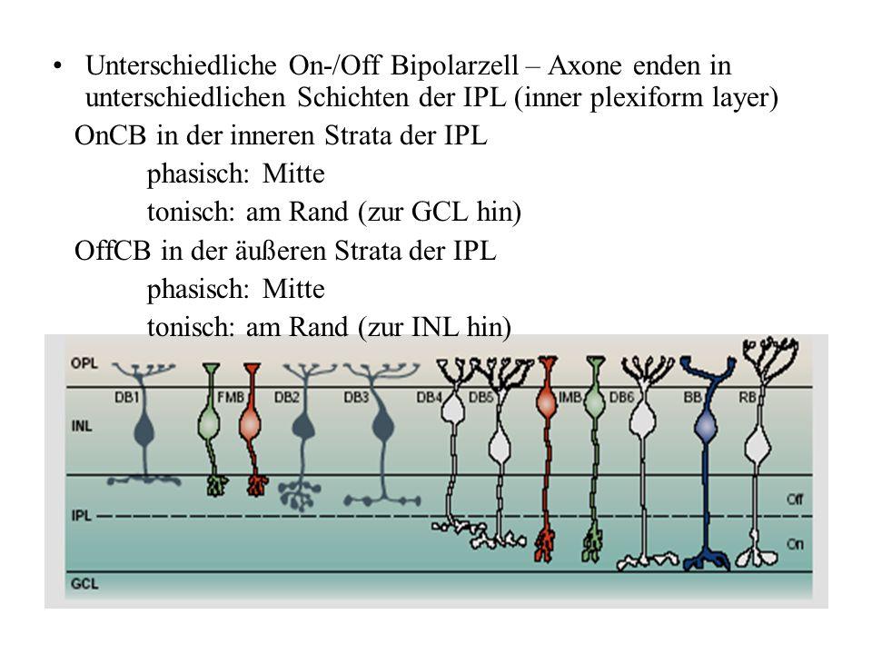Unterschiedliche On-/Off Bipolarzell – Axone enden in unterschiedlichen Schichten der IPL (inner plexiform layer) OnCB in der inneren Strata der IPL p