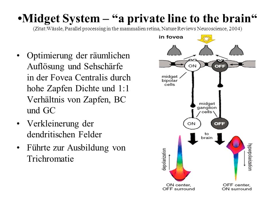 Midget System – a private line to the brain (Zitat:Wässle, Parallel processing in the mammalien retina, Nature Reviews Neuroscience, 2004) Optimierung