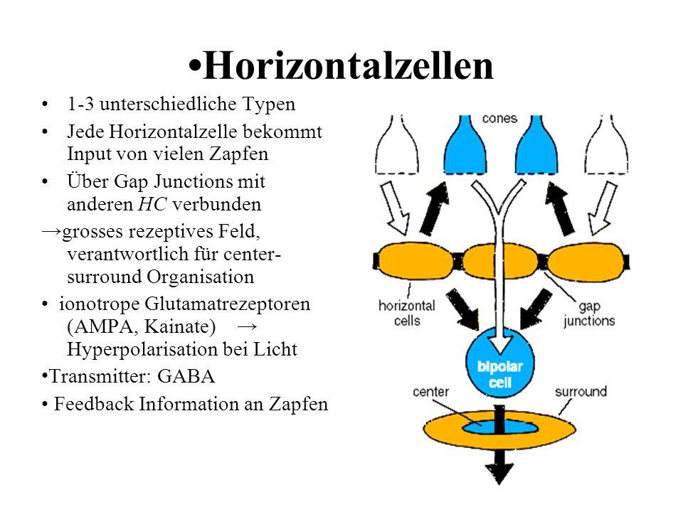 Horizontalzellen 1-3 unterschiedliche Typen Jede Horizontalzelle bekommt Input von vielen Zapfen Über Gap Junctions mit anderen HC verbunden grosses r