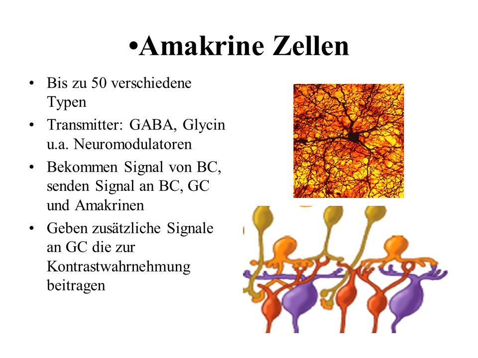 Amakrine Zellen Bis zu 50 verschiedene Typen Transmitter: GABA, Glycin u.a. Neuromodulatoren Bekommen Signal von BC, senden Signal an BC, GC und Amakr