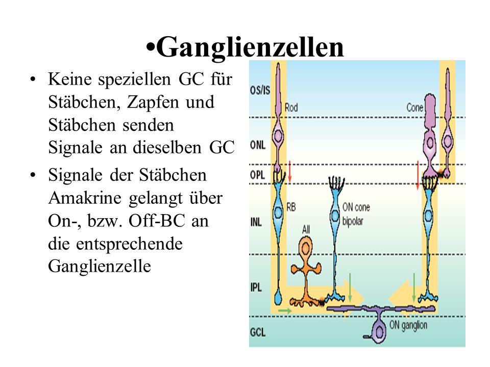 Ganglienzellen Keine speziellen GC für Stäbchen, Zapfen und Stäbchen senden Signale an dieselben GC Signale der Stäbchen Amakrine gelangt über On-, bz
