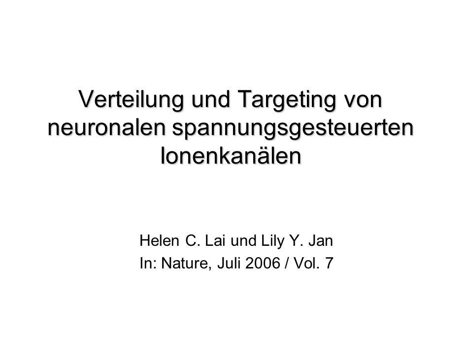 Targeting der Kanäle zu den Dendriten Kv-Kanäle und HCN-Kanläle kontrollieren: - regulieren dendrit.