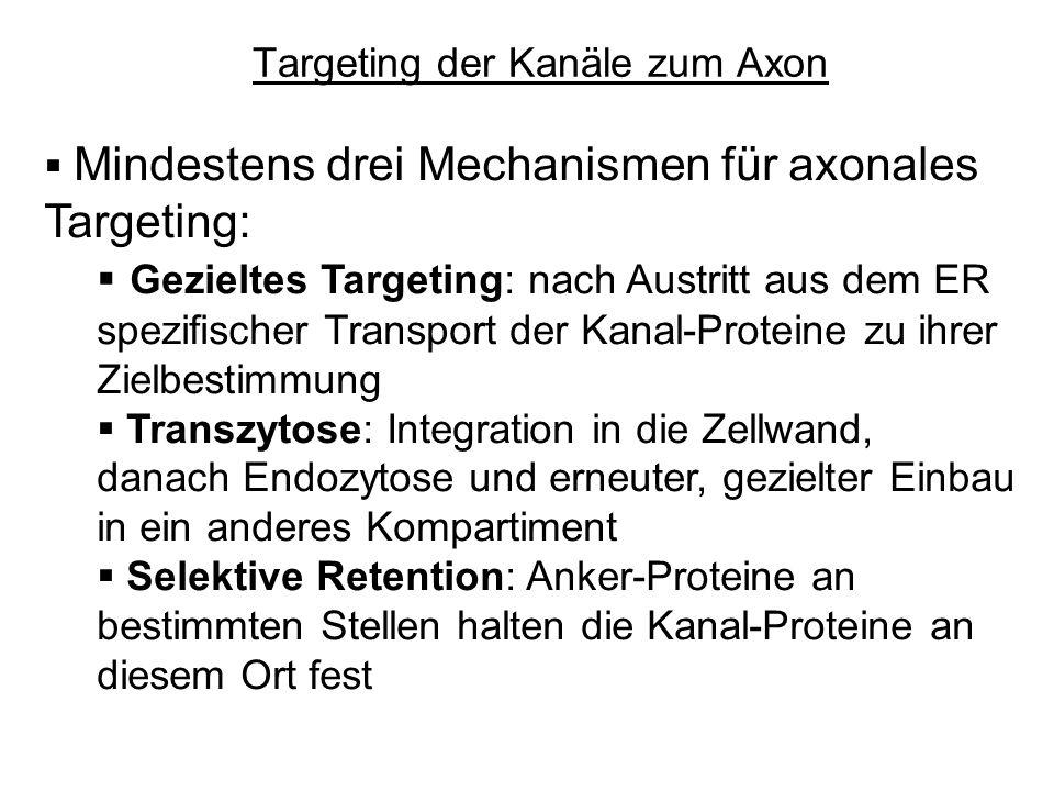Targeting der Kanäle zum Axon Mindestens drei Mechanismen für axonales Targeting: Gezieltes Targeting: nach Austritt aus dem ER spezifischer Transport