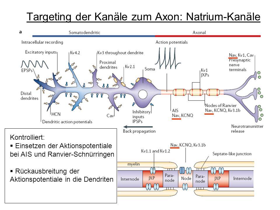 Targeting der Kanäle zum Axon: Natrium-Kanäle Kontrolliert: Einsetzen der Aktionspotentiale bei AIS und Ranvier-Schnürringen Rückausbreitung der Aktio