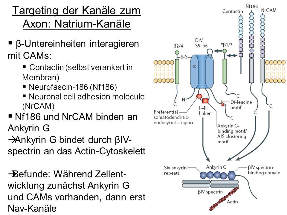 Targeting der Kanäle zum Axon: Natrium-Kanäle β-Untereinheiten interagieren mit CAMs: Contactin (selbst verankert in Membran) Neurofascin-186 (Nf186)