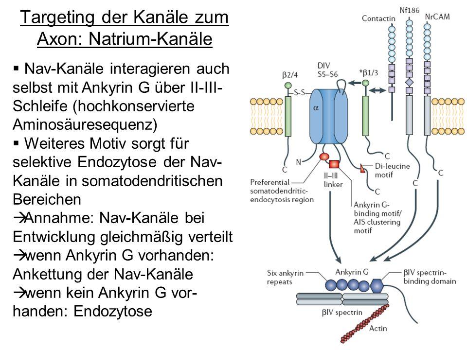 Targeting der Kanäle zum Axon: Natrium-Kanäle Nav-Kanäle interagieren auch selbst mit Ankyrin G über II-III- Schleife (hochkonservierte Aminosäuresequ