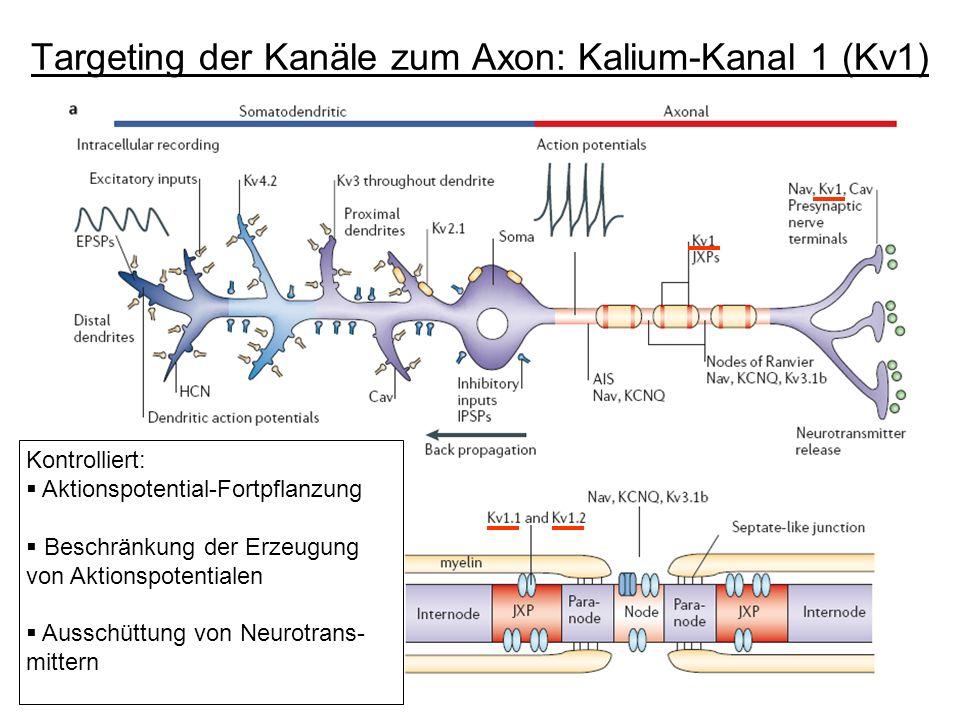 Targeting der Kanäle zum Axon: Kalium-Kanal 1 (Kv1) Kontrolliert: Aktionspotential-Fortpflanzung Beschränkung der Erzeugung von Aktionspotentialen Aus