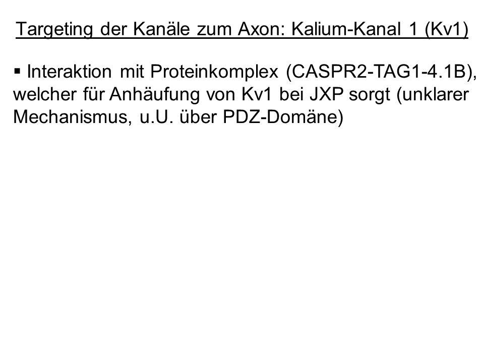 Interaktion mit Proteinkomplex (CASPR2-TAG1-4.1B), welcher für Anhäufung von Kv1 bei JXP sorgt (unklarer Mechanismus, u.U. über PDZ-Domäne)
