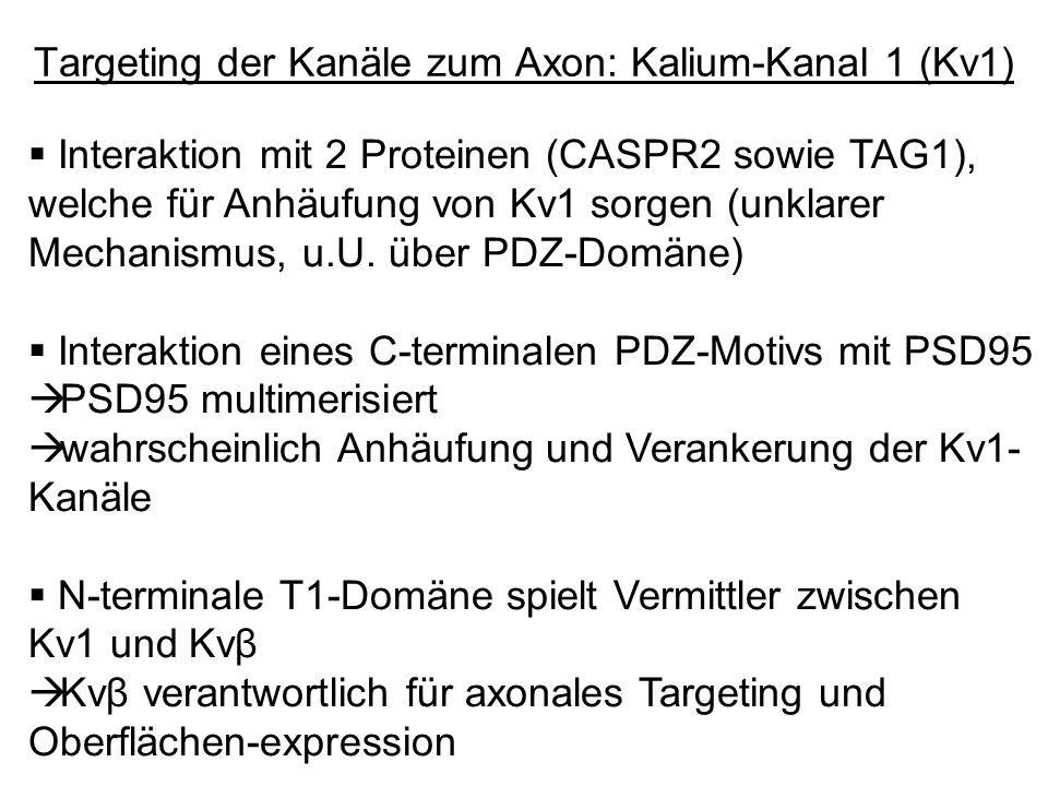 Interaktion mit 2 Proteinen (CASPR2 sowie TAG1), welche für Anhäufung von Kv1 sorgen (unklarer Mechanismus, u.U. über PDZ-Domäne) Interaktion eines C-