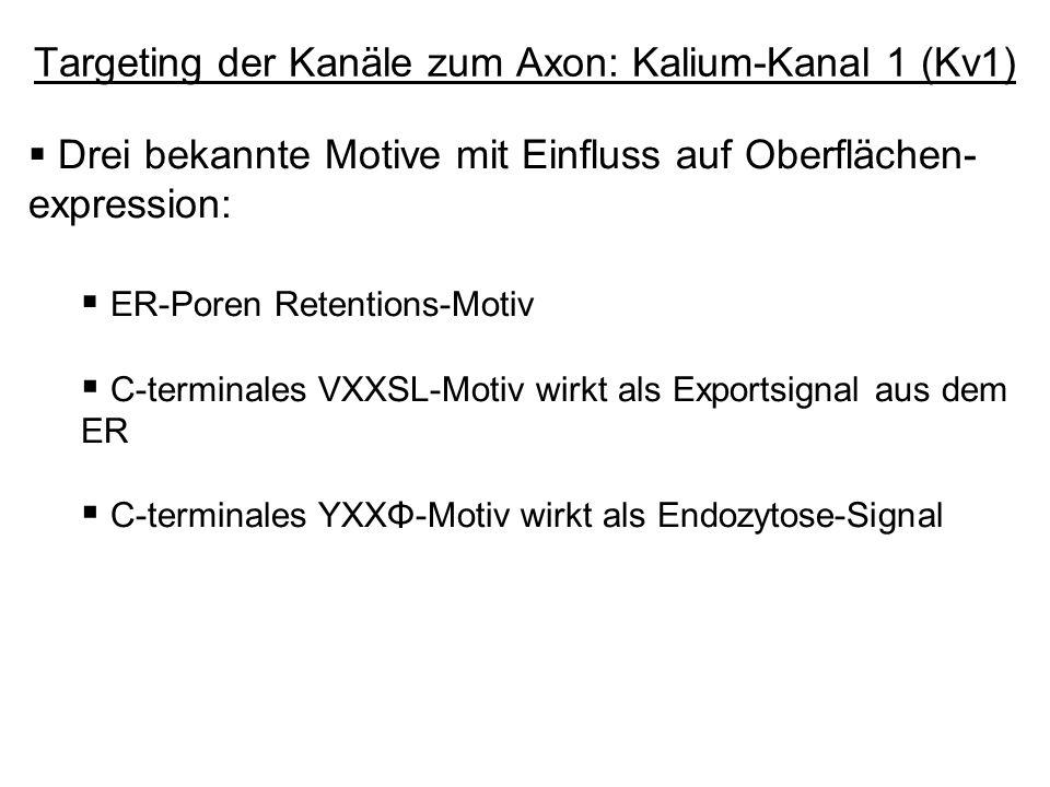 Drei bekannte Motive mit Einfluss auf Oberflächen- expression: ER-Poren Retentions-Motiv C-terminales VXXSL-Motiv wirkt als Exportsignal aus dem ER C-