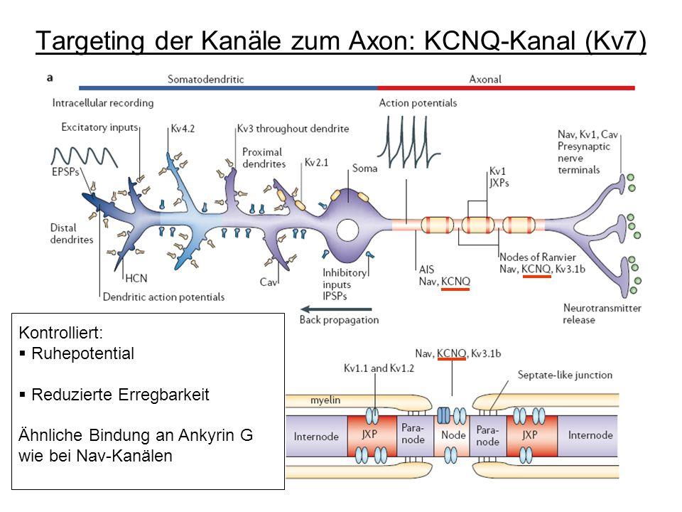 Targeting der Kanäle zum Axon: KCNQ-Kanal (Kv7) Kontrolliert: Ruhepotential Reduzierte Erregbarkeit Ähnliche Bindung an Ankyrin G wie bei Nav-Kanälen