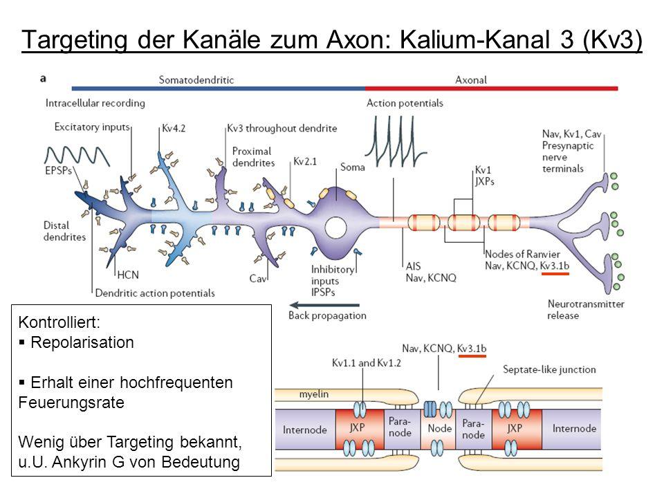 Targeting der Kanäle zum Axon: Kalium-Kanal 3 (Kv3) Kontrolliert: Repolarisation nach Aktions- potential Erhalt hochfrequenter Aktions- potentiale Kon