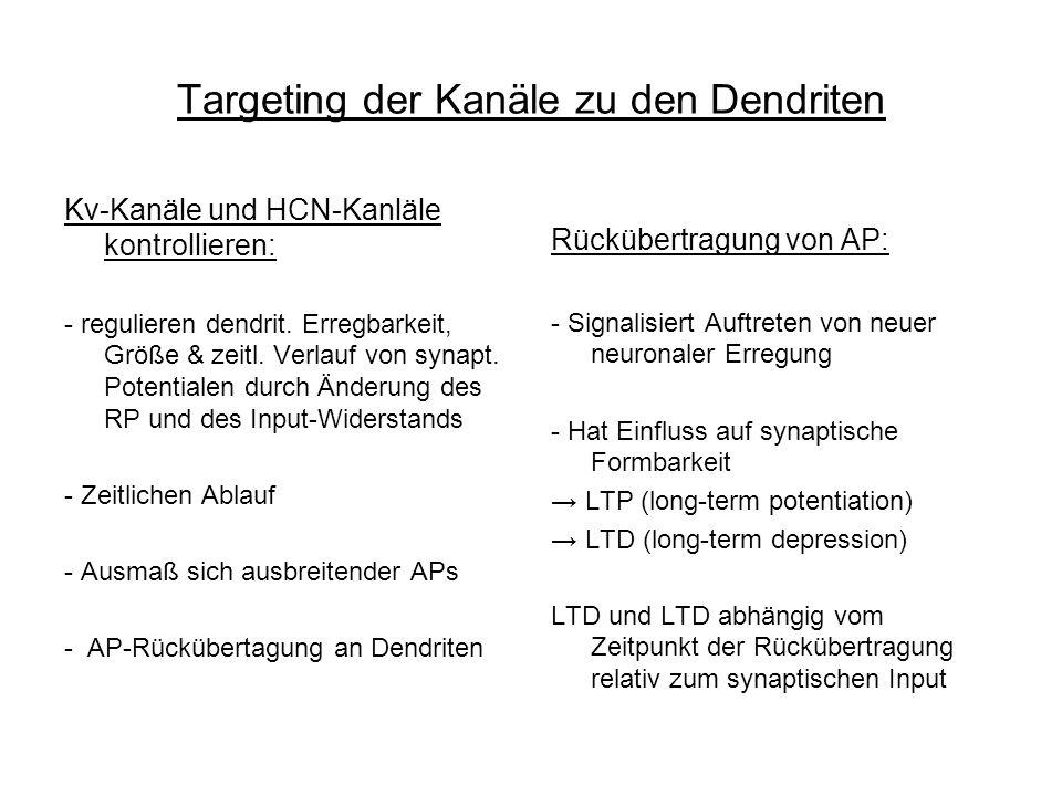 Targeting der Kanäle zu den Dendriten Kv-Kanäle und HCN-Kanläle kontrollieren: - regulieren dendrit. Erregbarkeit, Größe & zeitl. Verlauf von synapt.