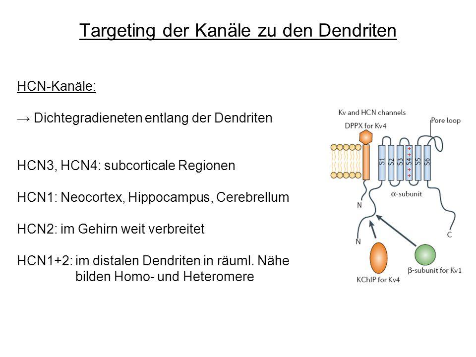 Targeting der Kanäle zu den Dendriten HCN-Kanäle: Dichtegradieneten entlang der Dendriten HCN3, HCN4: subcorticale Regionen HCN1: Neocortex, Hippocamp