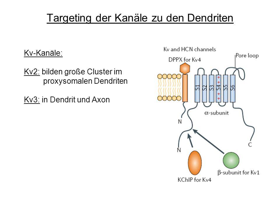 Targeting der Kanäle zu den Dendriten Kv-Kanäle: Kv2: bilden große Cluster im proxysomalen Dendriten Kv3: in Dendrit und Axon