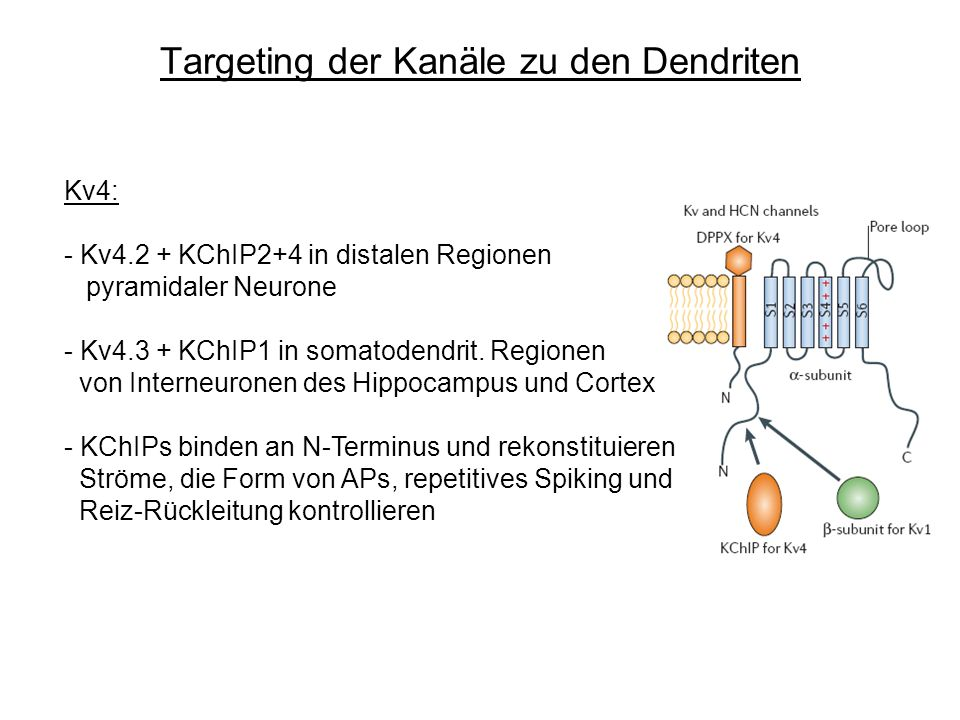 Targeting der Kanäle zu den Dendriten Kv4: - Kv4.2 + KChIP2+4 in distalen Regionen pyramidaler Neurone - Kv4.3 + KChIP1 in somatodendrit. Regionen von