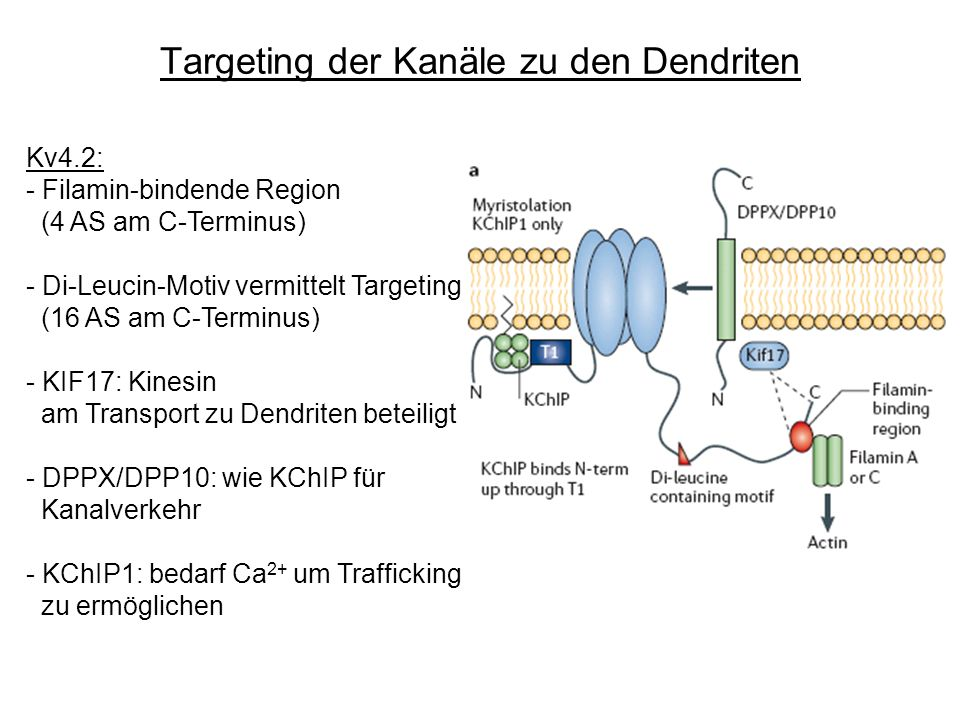 Targeting der Kanäle zu den Dendriten Kv4.2: - Filamin-bindende Region (4 AS am C-Terminus) - Di-Leucin-Motiv vermittelt Targeting (16 AS am C-Terminu