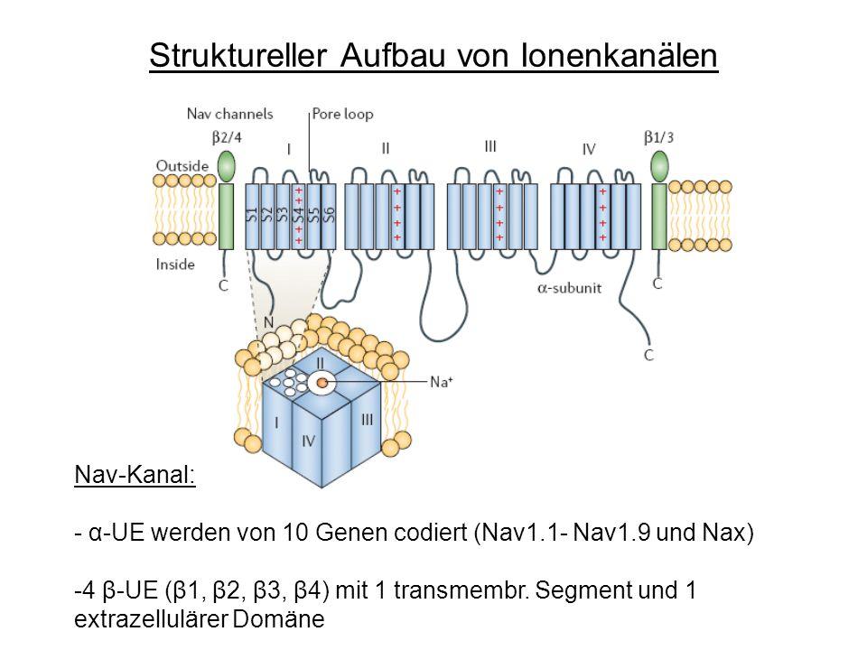 Struktureller Aufbau von Ionenkanälen Nav-Kanal: - α-UE werden von 10 Genen codiert (Nav1.1- Nav1.9 und Nax) -4 β-UE (β1, β2, β3, β4) mit 1 transmembr