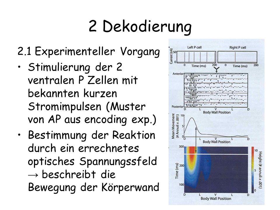 2 Dekodierung 2.1 Experimenteller Vorgang Stimulierung der 2 ventralen P Zellen mit bekannten kurzen Stromimpulsen (Muster von AP aus encoding exp.) Bestimmung der Reaktion durch ein errechnetes optisches Spannungssfeld beschreibt die Bewegung der Körperwand