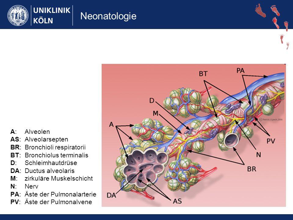 Neonatologie A: Alveolen AS: Alveolarsepten BR: Bronchioli respiratorii BT: Bronchiolus terminalis D: Schleimhautdrüse DA:Ductus alveolaris M: zirkuläre Muskelschicht N: Nerv PA: Äste der Pulmonalarterie PV: Äste der Pulmonalvene