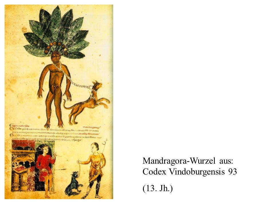 Mandragora-Wurzel aus: Codex Vindoburgensis 93 (13. Jh.)